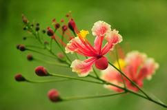 Rosafarbene Blumenblüten Lizenzfreie Stockbilder