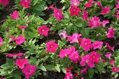 Rosafarbene Blumennahaufnahme lizenzfreies stockbild