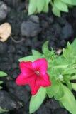 Rosafarbene Blumennahaufnahme stockfotografie