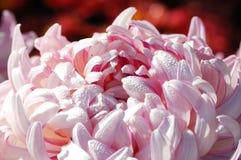 Rosafarbene Chrysantheme Stockbild