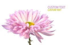 Rosafarbene Chrysantheme lizenzfreie stockfotos
