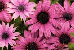 Rosafarbene Chrysanthemeblume Stockfoto