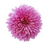 Rosafarbene Chrysanthemeblume getrennt auf Weiß Stockfoto