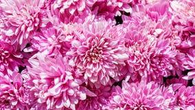 Rosafarbene Chrysanthemeblumen Lizenzfreies Stockbild