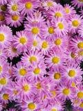 Rosafarbene Chrysanthemen Lizenzfreie Stockfotos