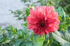 Rosafarbene Dahlie stockfoto