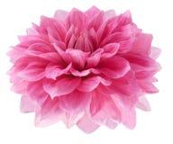 Rosafarbene Dahlie auf weißem Hintergrund Stockbild