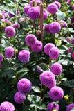 Rosafarbene Dahlieblüte Stockbilder