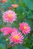 Rosafarbene Dahlieblume Stockbild