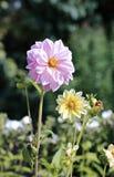 Rosafarbene Dahlieblume im Garten Lizenzfreies Stockbild