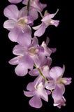 Rosafarbene Dendrobiumorchidee getrennt auf Schwarzem Stockfotografie