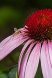 Rosafarbene Echinaceablume Lizenzfreies Stockfoto