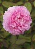 Rosafarbene einzelne Rose im Garten Stockbild