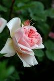 Rosafarbene englische Rose Lizenzfreie Stockfotos