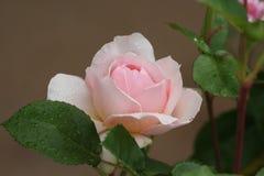 Rosafarbene englische Rose lizenzfreies stockbild