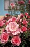 Rosafarbene englische Rosen und blaues Gebäude Stockfotos