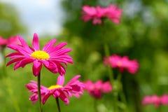 Rosafarbene europäische Gänseblümchen Stockfoto