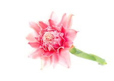 Rosafarbene Fackelingwerblume Lizenzfreies Stockbild