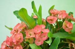 Rosafarbene Farbe der Blume Stockbilder