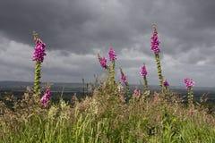 Rosafarbene Fingerhut, drastischer Himmel Stockfotos