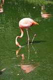 Rosafarbene Flamingos Lizenzfreie Stockfotos