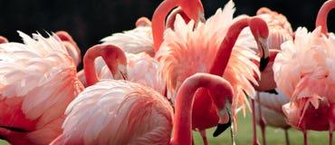 Rosafarbene Flamingos Stockbild