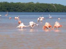 Rosafarbene Flamingos in Celestun Mexiko Stockfotos