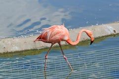 Rosafarbene Flamingos am Zoo Stockbilder