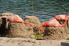 Rosafarbene Flamingos am Zoo Lizenzfreies Stockfoto