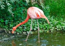 Rosafarbene Flamingos am Zoo Lizenzfreie Stockfotografie