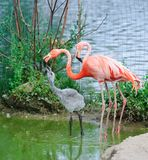 Rosafarbene Flamingos am Zoo Stockfotografie