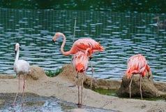 Rosafarbene Flamingos am Zoo Stockfotos