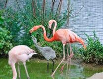 Rosafarbene Flamingos am Zoo Lizenzfreie Stockfotos
