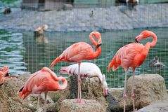 Rosafarbene Flamingos am Zoo Stockfoto