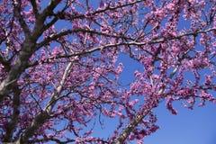 Rosafarbene Frühlings-Blüten Stockfotografie