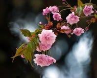 Rosafarbene Frühlings-Blumen Lizenzfreie Stockfotografie