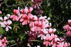 Rosafarbene Frühlings-Blumen Lizenzfreie Stockbilder