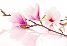 Rosafarbene Frühlingsblumen mit Reflexion Lizenzfreies Stockfoto