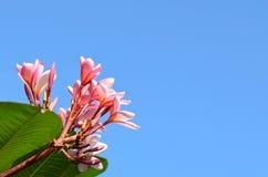 Rosafarbene Frangipaniblume Stockfoto