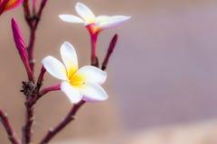 Rosafarbene Frangipaniblumen Stockbilder