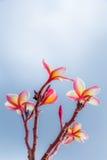 Rosafarbene Frangipaniblumen Lizenzfreie Stockfotografie