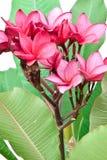 Rosafarbene Frangipaniblumen Lizenzfreie Stockfotos