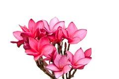 Rosafarbene Frangipaniblumen Stockfotografie