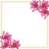 Rosafarbene Gänseblümchen-Eckrand auf Weiß Stockfotografie