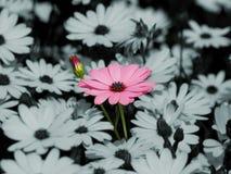 Rosafarbene Gänseblümchenblume Stockfotos