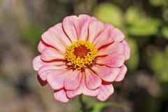 Rosafarbene Gartenblume Lizenzfreie Stockbilder