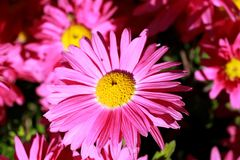 Rosafarbene Gartenblumen Stockfoto