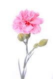 Rosafarbene Gartennelke. Stockbild