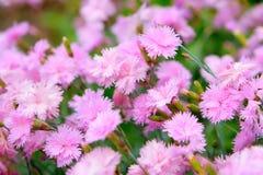 Rosafarbene Gartennelke Stockbilder