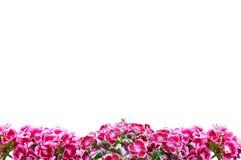Rosafarbene Gartennelke Stockbild